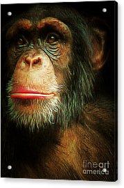 Chimp 20150210brun V3 Acrylic Print by Wingsdomain Art and Photography