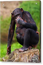 Chimp With A Baby On Her Belly  Acrylic Print