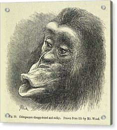 Chimpanzee Disappointed And Sulky Acrylic Print by British Library