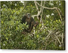 Chimpanzee In Tree Acrylic Print by Jean-Michel Labat