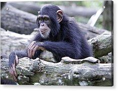 Chimpanzee Playing Acrylic Print by Shoal Hollingsworth