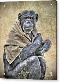 Acrylic Print featuring the photograph Chimpanzee by Savannah Gibbs