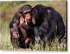 Acrylic Print featuring the photograph Chimpanzees Eating A Carrot by Nick  Biemans