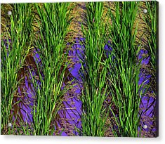 China Rice Acrylic Print by Jacqueline M Lewis