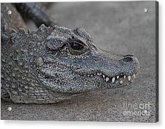 Chinese Alligator Acrylic Print by Ruth Jolly