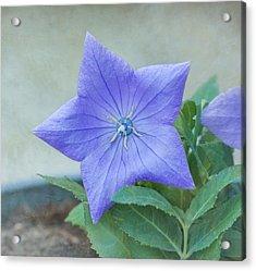 Chinese Bell Flower Acrylic Print by Kim Hojnacki