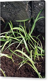 Chinese Chives Acrylic Print