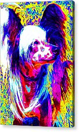 Chinese Crested Dog 20130125v1 Acrylic Print by Wingsdomain Art and Photography