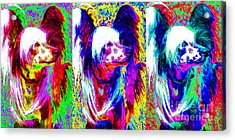 Chinese Crested Dog Three 20130125 Acrylic Print by Wingsdomain Art and Photography