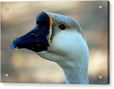 Chinese Goose Acrylic Print by Lisa Phillips