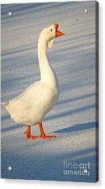 Chinese Goose Winter Acrylic Print by Susan Garren