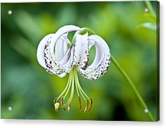 Chinese Lily Acrylic Print by Lana Enderle