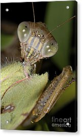 Chinese Mantid Eating A Sulfur Butterfly Acrylic Print by Scott Camazine
