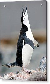 Chinstrap Penguin Courting Display Acrylic Print