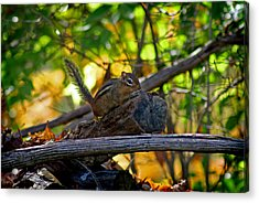 Chipmunk In The Woods Acrylic Print