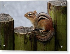 Acrylic Print featuring the photograph Chipmunk by Kathy Gibbons