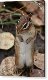 Acrylic Print featuring the photograph Chipmunk by Paula Brown