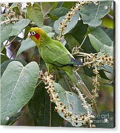 Chiriqui Conure 2 Acrylic Print by Heiko Koehrer-Wagner