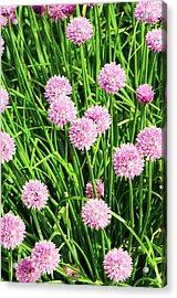 Chive (allium Schoenoprasum) Flowers Acrylic Print