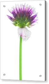 Chive (allium Schoenoprasum) Acrylic Print