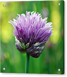Chive Blossom Acrylic Print by Kjirsten Collier