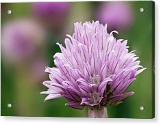 Chive Flowerhead Acrylic Print