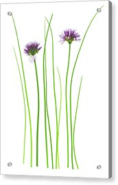 Chives (allium Schoenoprasum) Acrylic Print