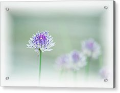 Chives Blowing In The Wind Acrylic Print