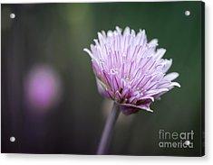 Chives Flower Macro Acrylic Print