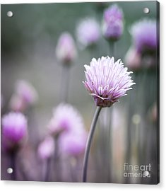 Chives Flowering I Acrylic Print