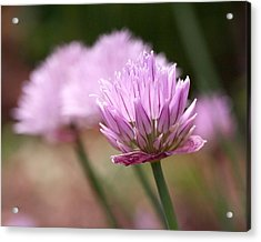 Chives Acrylic Print by Rona Black