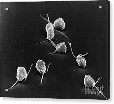 Chlamydomonas Acrylic Print by David M. Phillips