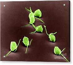 Chlamydomonas, Sem Acrylic Print by David M. Phillips