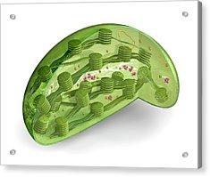 Chloroplast Acrylic Print by Carlos Clarivan