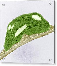 Chloroplast Of Arabidopsis Thaliana. Tem Acrylic Print by Science Stock Photography
