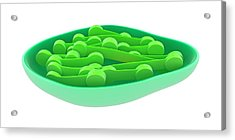 Chloroplast Acrylic Print by Science Photo Library