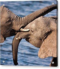 Chobe National Park, Botswana Acrylic Print