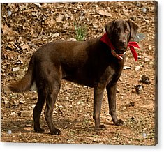 Acrylic Print featuring the photograph Chocolate Lab by Robert L Jackson