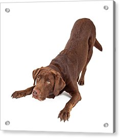 Chocolate Labrador Dog Bowing And Looking Up Acrylic Print by Susan Schmitz