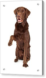 Chocolate Labrador Paw Extended Acrylic Print
