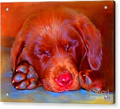 Chocolate Labrador Puppy Acrylic Print by Iain McDonald
