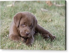 Chocolate Labrador Puppy Acrylic Print by Linda Freshwaters Arndt