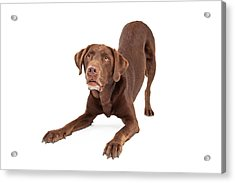 Chocolate Labrador Retriever Dog In Downdog Postion Acrylic Print by Susan Schmitz