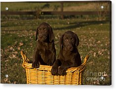 Chocolate Labrador Retriever Pups Acrylic Print by Linda Freshwaters Arndt