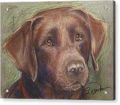Chocolate Labrador Acrylic Print by Sciandra