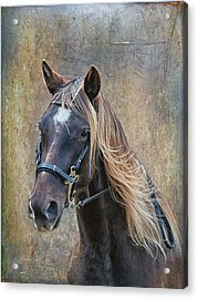Chocolate Rocky Mountain Horse Acrylic Print by Peter Lindsay