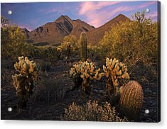 Cholla Cactus At Mcdowell Mountains Acrylic Print