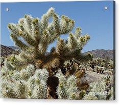 Cholla Cactus Acrylic Print by Deborah Smolinske
