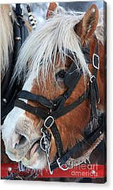 Chomping On The Bit Acrylic Print by Alyce Taylor