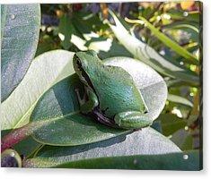 Chorus Frog On A Rhodo Acrylic Print
